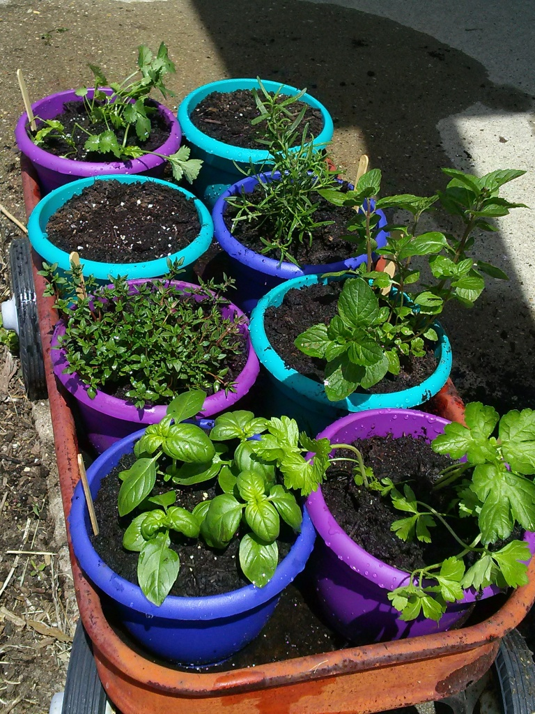 From top left: cilantro, future cilantro, more future cilantro, rosemary, thyme, mint, basil and parsley.